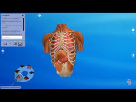 Human Anatomy – Respiratory System (Studio)