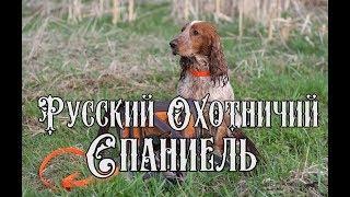 #Русский#Охотничий#Спаниель#Щенки Русского Охотничьего Спаниеля.#Охота с#Русским#Спаниелем.
