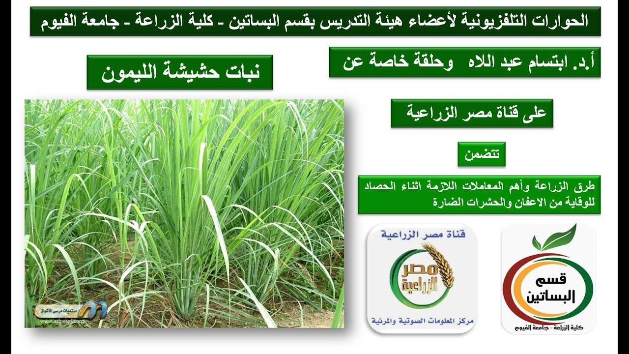 61 نبات حشيشة الليمون وحلقة خاصة للدكتورة ابتسام عبد اللاه زراعة الفيوم على قناة مصر الزراعية Youtube