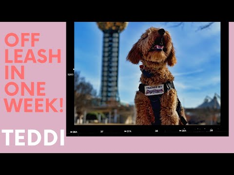 Knoxville Dog Trainers - 6 Month Old Golden Doodle Goes Off Leash in ONE WEEK!