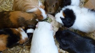 Pros + Cons of Owning Guinea Pigs | PetsPalaceTV