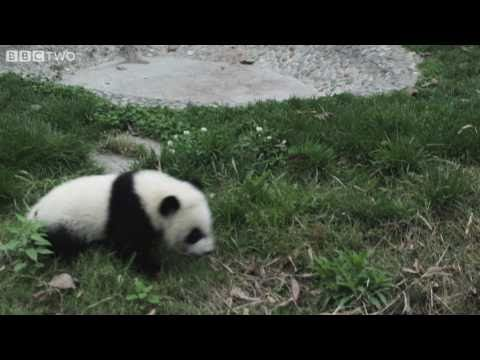 Funny cute baby pandas fall over! - Natural World Special: Panda Makers - BBC Two
