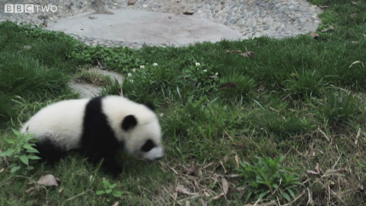 The Fall Bbc Wallpaper Funny Cute Baby Pandas Fall Over Natural World Special