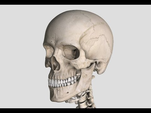 Axial Skeleton: Main bones, sutures, and processes