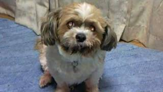 The dog which tells love It is my pet dog, With seeds (Shih Tzu) ヨ...