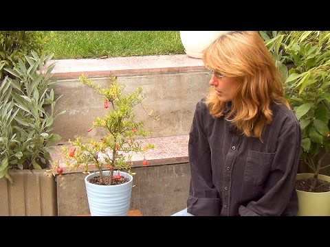 Гранат: цветы. Комнатный гранат: выращивание и уход