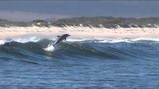 Dolphin leaping out of water South Africa