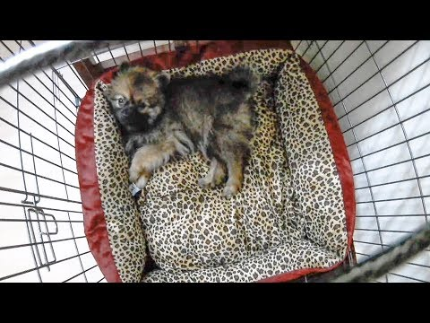 Pomeranian puppies sleeping in new bed