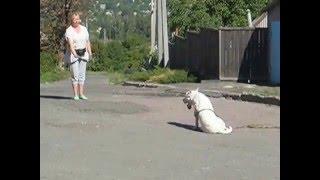 Дрессировка амстаффа . Возраст собаки 8,5 месяцев.