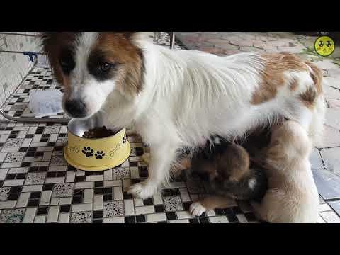 바둑이 새끼 강아지 6마리 성장기 (세상구경31일차) #10화 (60FPS) Korea Dogs