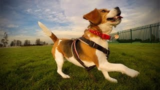 The World Through A Beagle's Eyes | Gopro Dog Cam In 1080p