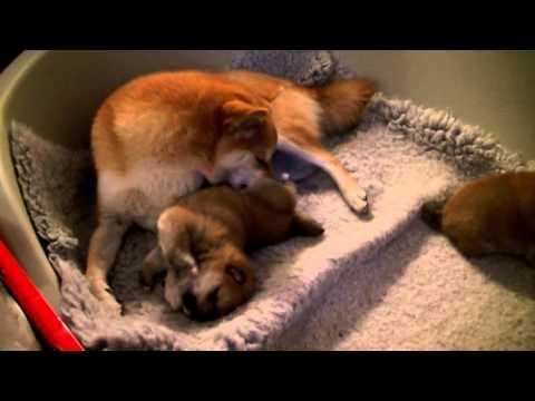 shiba inu miot A dwa i pół tygodnia / litter A two and a half weeks old