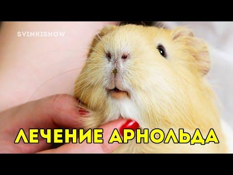 Хейлит у морской свинки / лечим Арнольда