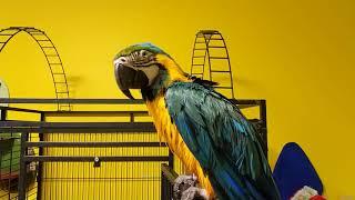 Мокрый попугай ара развлекается