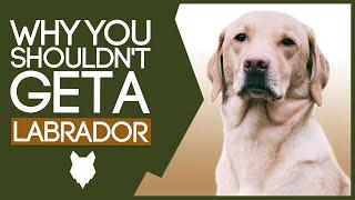 LABRADOR! 5 Reasons WHY YOU SHOULD NOT Get a Labrador Puppy!
