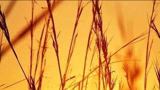 Grass Blowing in the Wind at Sunset - Royalty Free HD Stock Video Footage