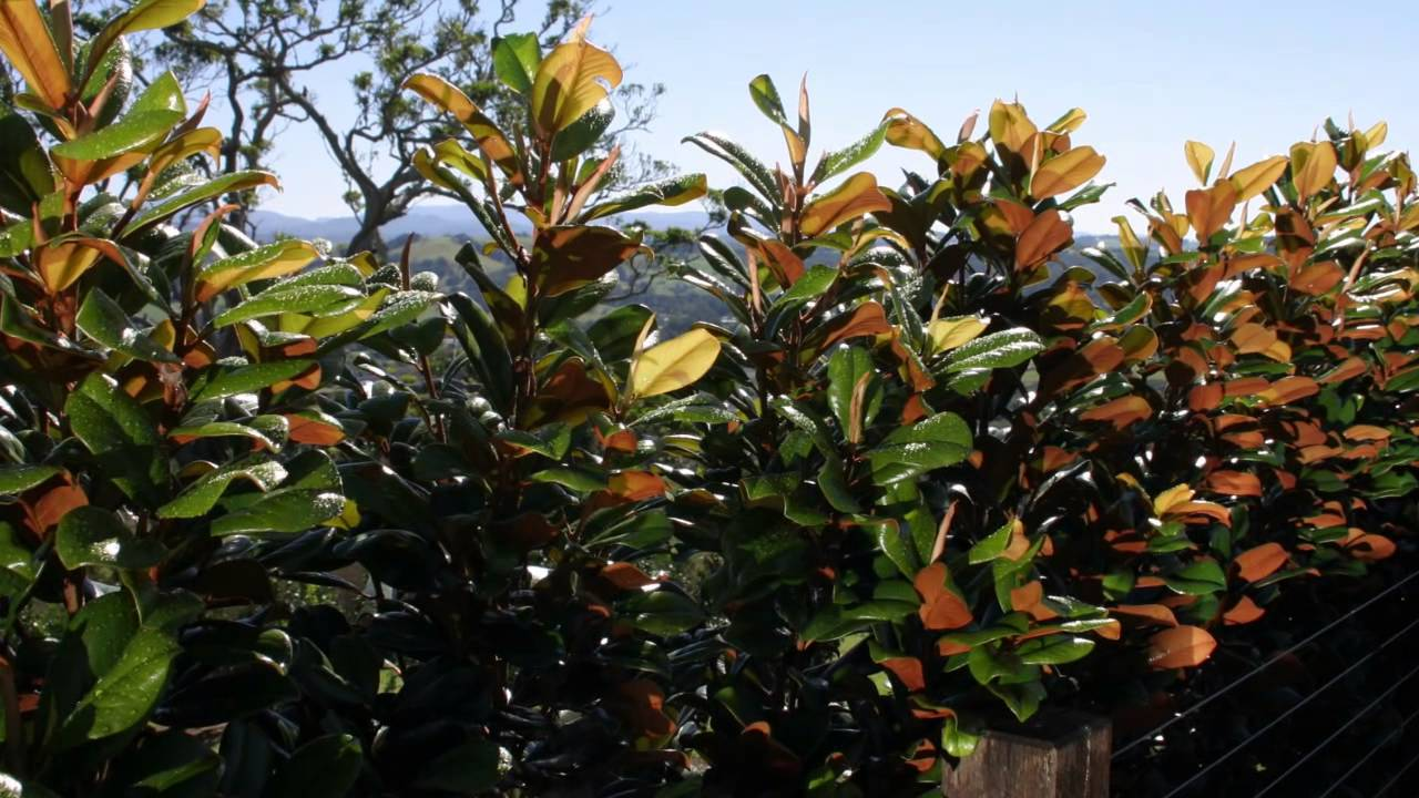 Buy Magnolia Trees Online From Australias Largest Supplier