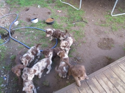 Small pack of Aussiedoodle & Aussie Labradoodle Puppies
