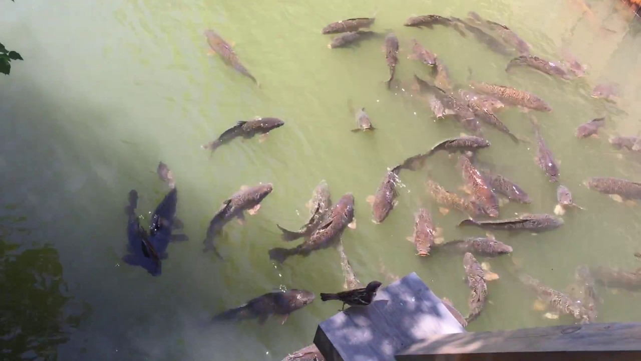 Big fish in the pond upper canada village youtube for Big pond fish