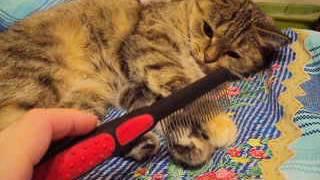 Кошка Ромашка не хочет расчёсываться.