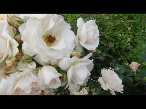 3 розы-августовские фаворитки в моём саду.