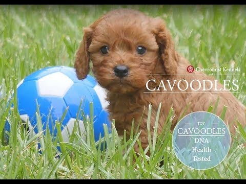Cavoodle puppies and their toys!