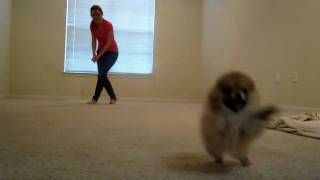 Tiny Pomeranian Puppy Running