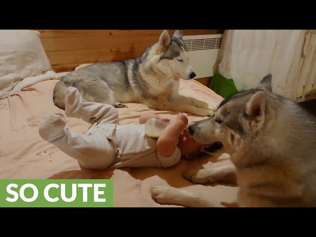 Baby drinks bottle between two watchful huskies