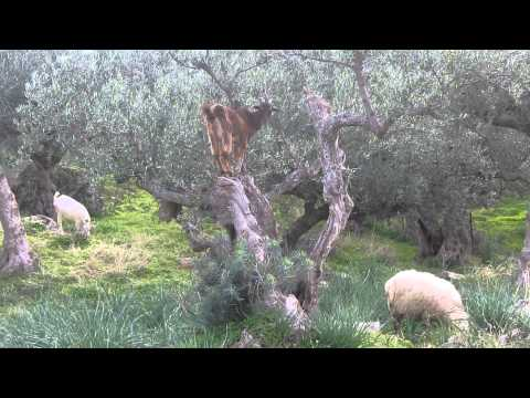 Goat Bells near Proastio, Greece
