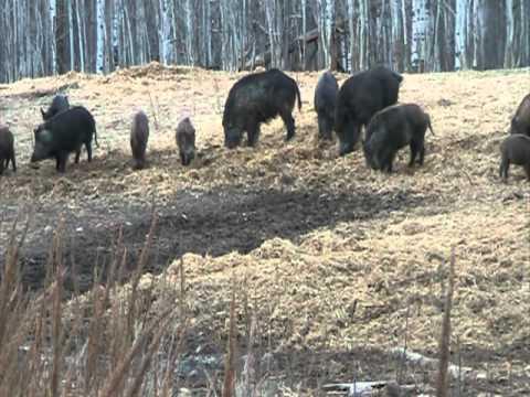 Hog Wild Specialties Part 1 Mayerthorpe Alberta 780-786-4627