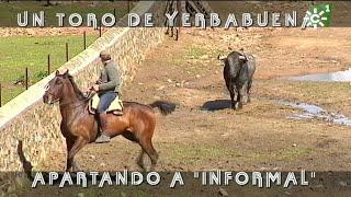 Toro de Yerbabuena: enfundar los pitones del burraco Informal | Toros desde Andalucía