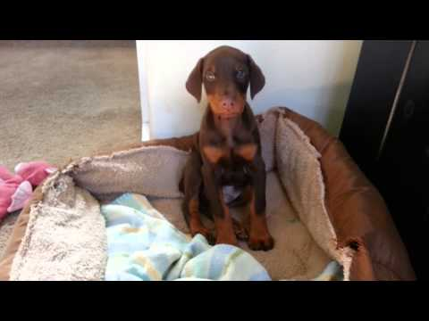 Playing with my baby doberman!