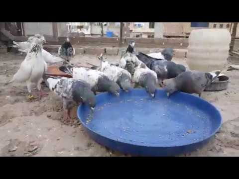 Pigeons Breeding Tips 2017 - kabootar Bazi k Tips 2017