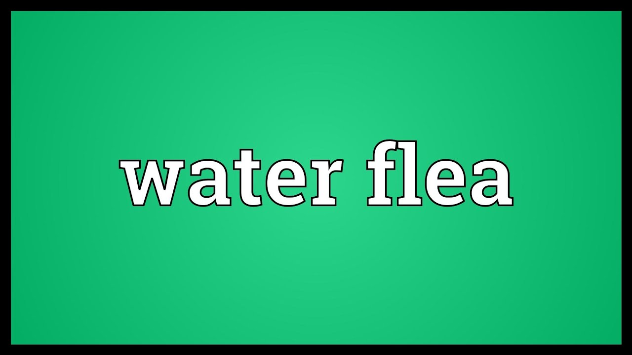 Water Flea Meaning Youtube