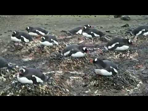 Gentoo Penguins, Neko Harbour, Antarctic Peninsula, South Pole