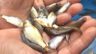 Fish salad, eat live carp
