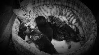 Британские серебристые мраморные пятнистые котята -2 недели (11.02.2018г)