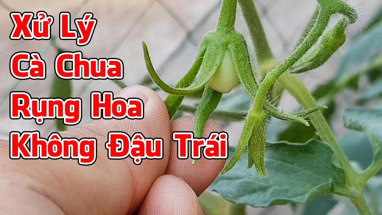 Xử lý cây cà chua bị rụng hoa, không đậu trái