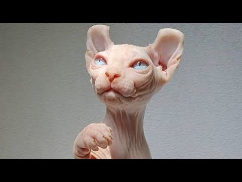 The Cutest Monster Sphynx Cats Compilation 2020