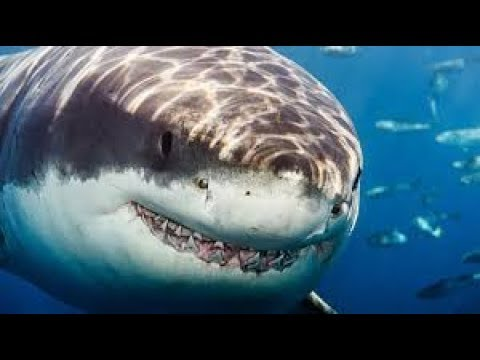 Psychological Behavior of the Great White Shark (720p)