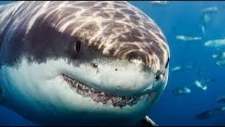 The Predatory Behavior of the Great White Shark (720p)