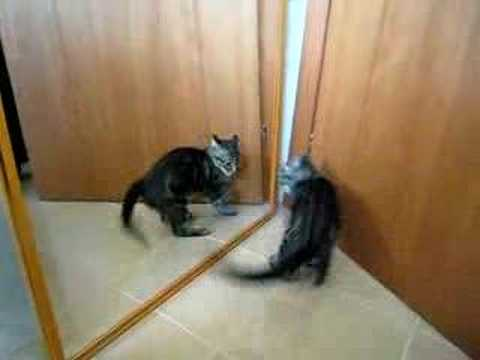 Gatto matto allo specchio doovi - Cane allo specchio ...