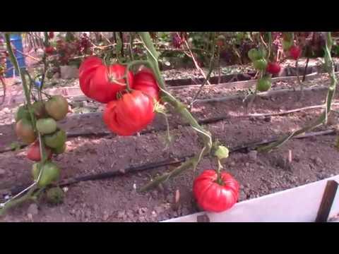 Томат сорта Рим - Королевский сад