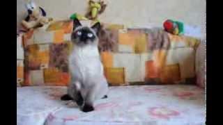 Британский котенок окраса сил поинт в питомнике British House