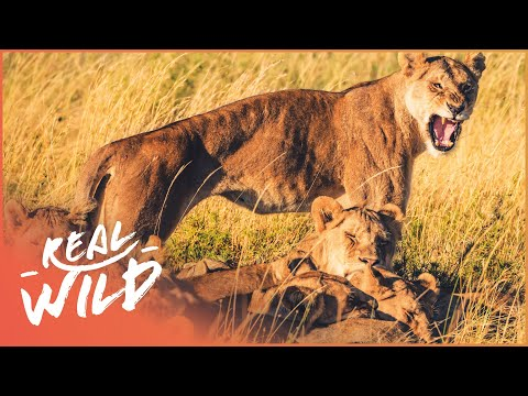 Lions Of Etosha [Lion Pride Survival Documentary] | Wild Thi