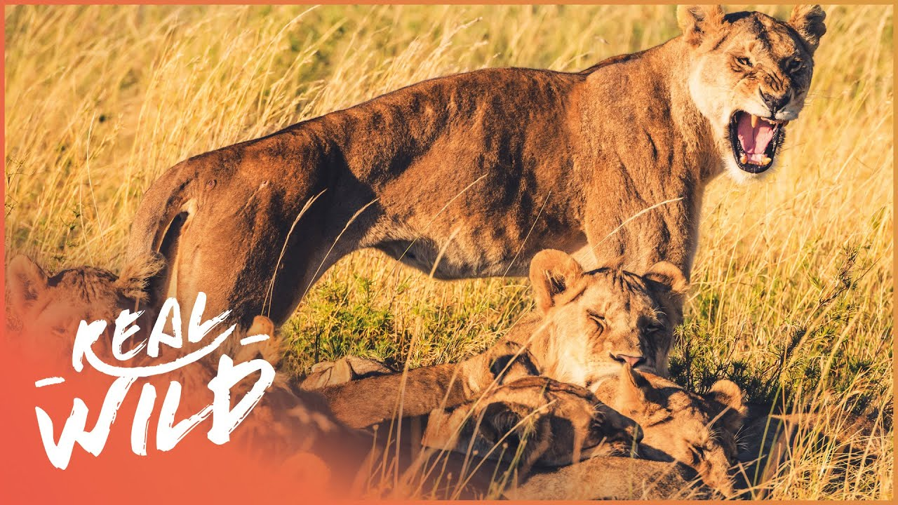 Lions Of Etosha [Lion Pride Survival Documentary] | Real Wild