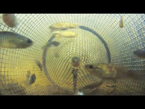 Thumbnail: Catching Fish from Inside a Minnow Trap POV 2