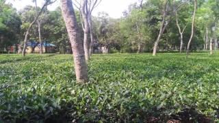 Tea garden (BTRI)
