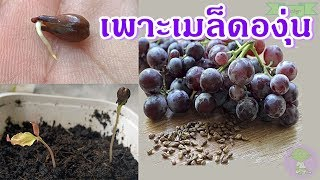 grape   วิธีเพาะเมล็ดองุ่น ปลููกต้นองุ่น