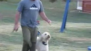 Fred The Goldendoodle Puppy Training Off Leash With Pak Masters